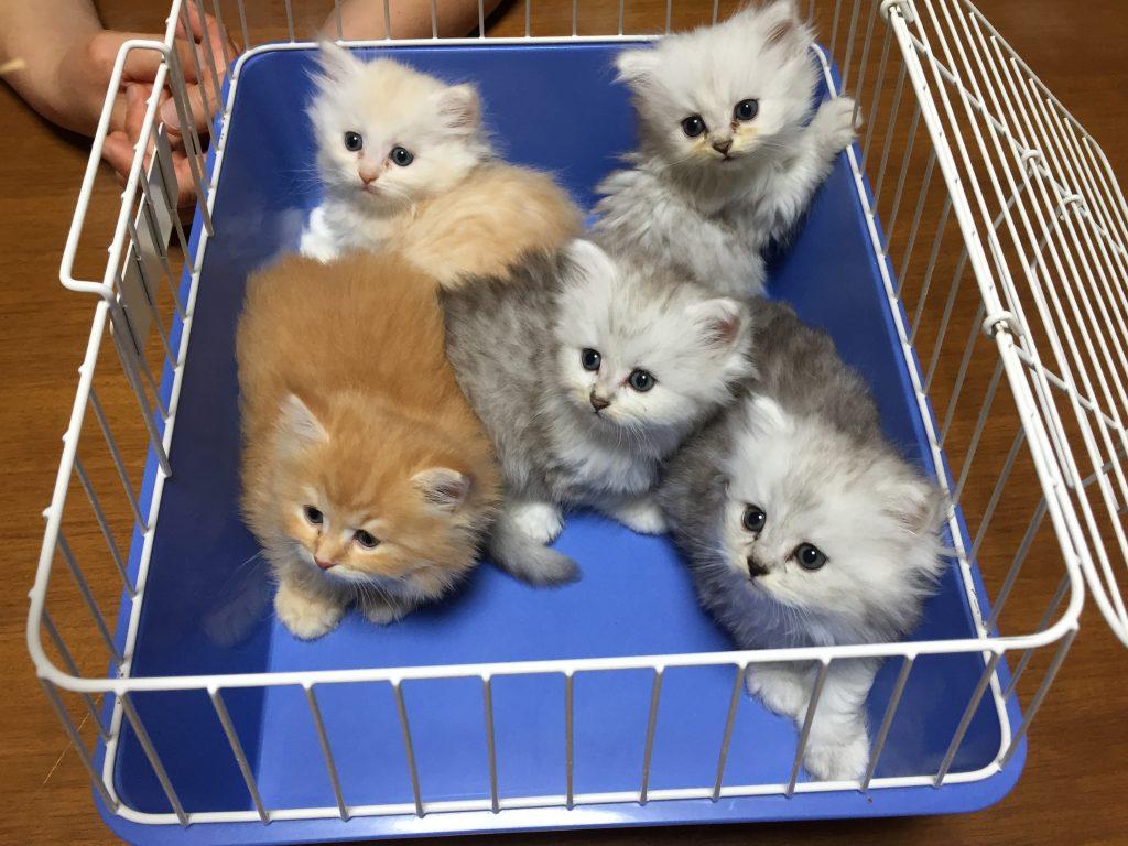 ブリーダーさん宅。生後2ヶ月くらいのサイベリアン子猫たち。