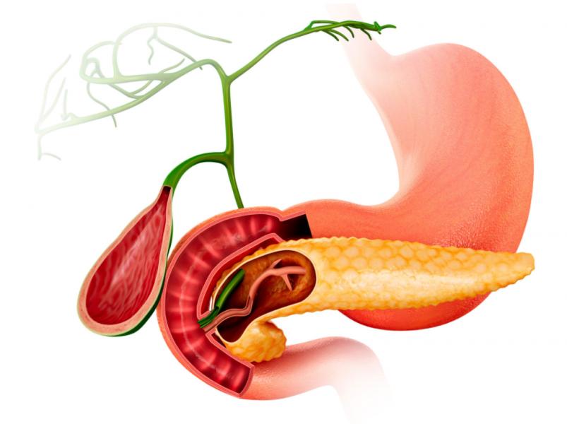 膵臓、胃、胆嚢。胆管
